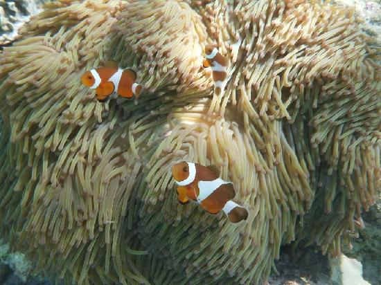 The Reef Dive Resort: Nemo in Sweet Lips Rock