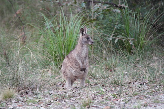 Broulee, Australien: Adolescent grey kangaroo