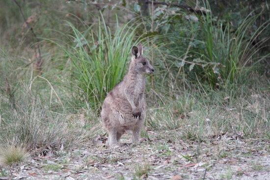 Broulee, Australia: Adolescent grey kangaroo