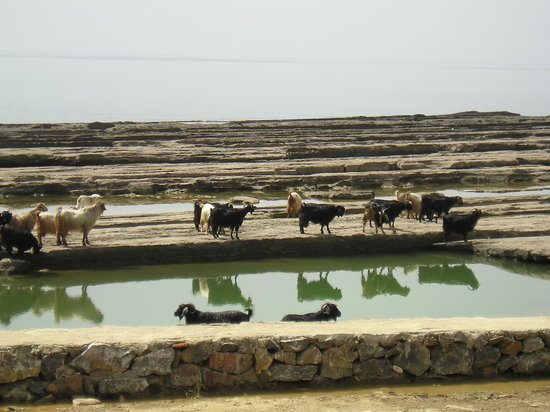Gazipasa, Turkiet: winter is nearly here tourist have gone time for the goats to have a swim