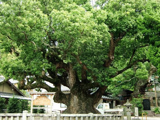 Izu, Japan: 楠の巨木