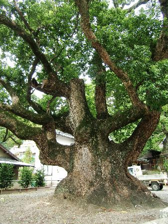 Toi Shrine : 立派な枝の楠の樹