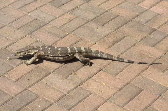 Lower Sabie Restcamp: A Water Monitor Lizard came to visit us on our verandah