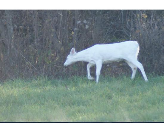 Buffalo County Resort : Nature Abounds With Albino Deer Nearby