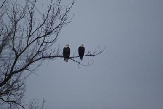 Buffalo County Resort: Bald Eaglels Surround The Area