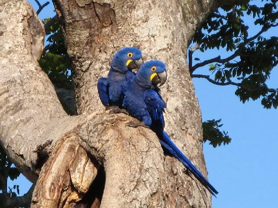 Miranda, MS: blue hyacynth macaws