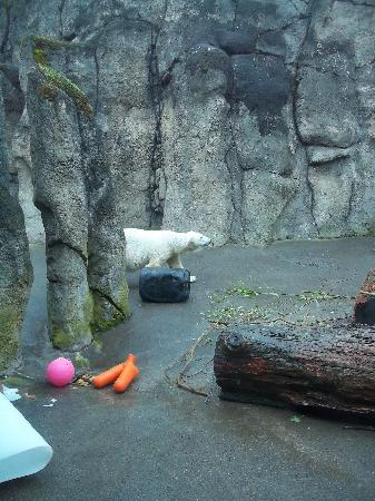 Oregon Zoo: Mr. Polar Bear