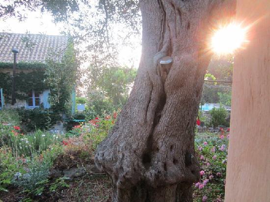 Zakspitaki B&B: The beautiful olive trees!! Ancient!