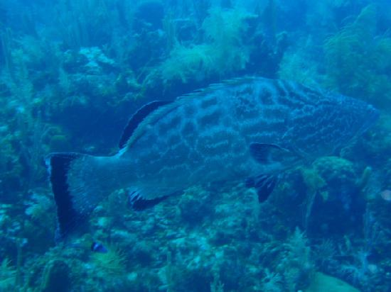 Hotel Club Amigo Atlantico Guardalavaca: plongée avec un goliath groopper