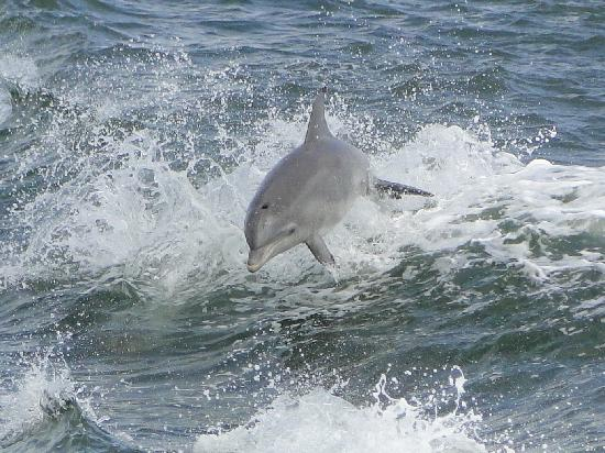 Cape May Whale Watcher: Dolphin surfing in wake of boat.