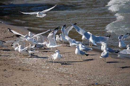 Huntington Beach: The gulls