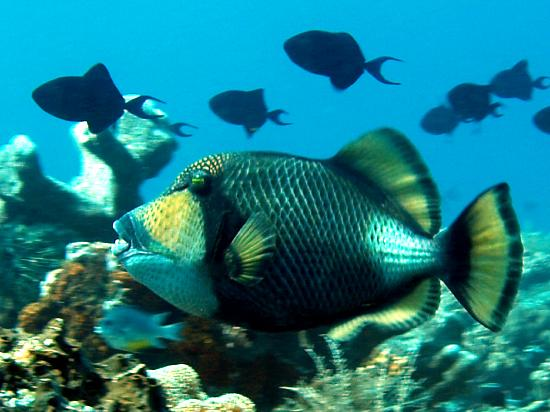 Hotel Santika Premiere Seaside Resort Manado: Beware Titan Triggerfish!!