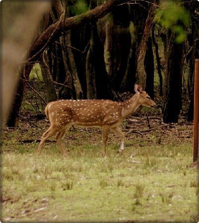 Parque Anchorena: Ciervos axis