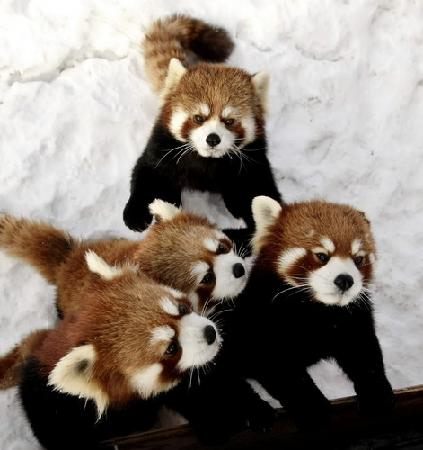 Red River Zoo: Red Panda Triplets