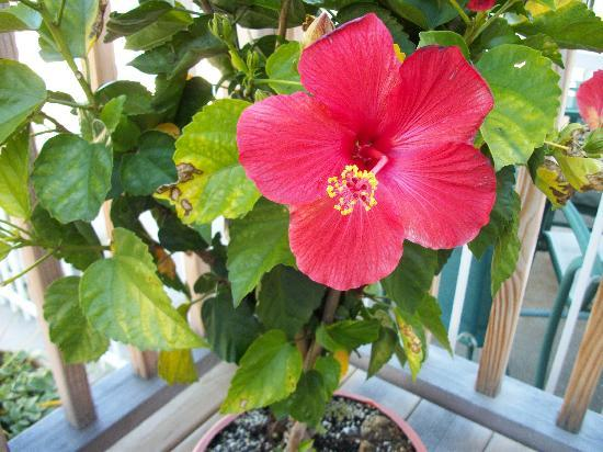 Ephraim Motel: beautiful hibiscus blooming in the garden