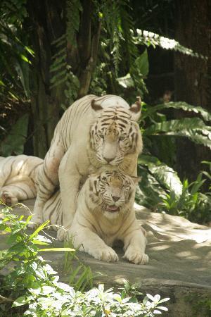 สวนสัตว์สิงคโปร์: Some tigers were mating
