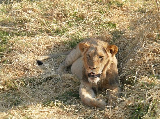 Chisomo Safari Camp: Lion