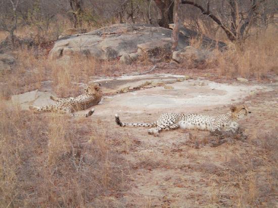 Chisomo Safari Camp: Cheetah