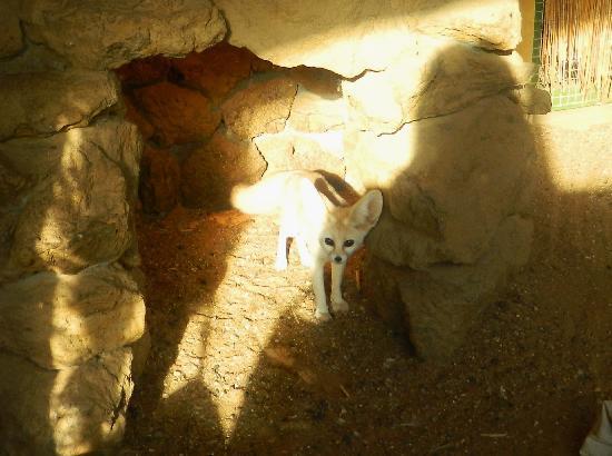 Africa Alive!: Fennec Fox