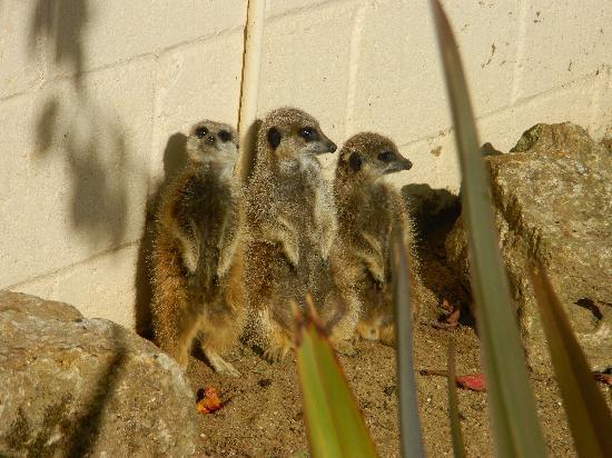 Africa Alive!: Meerkats