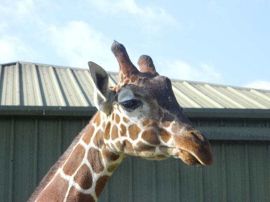 Africa Alive!: Giraffe