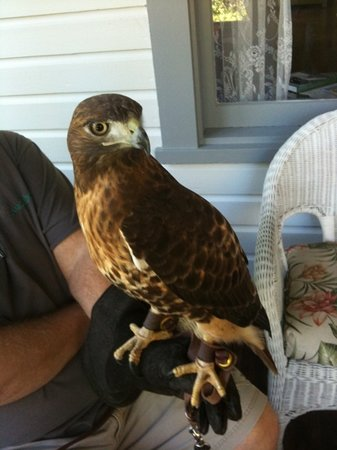 Maitland, Floride : Red Tail Hawk (Raptor)