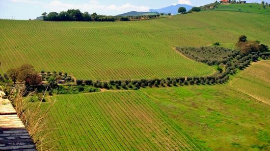 Ascoli Piceno, Italia: vigne ed ulivi nel Picenoshire