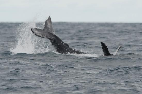 B and J Cabins: Whale calf, Uvita