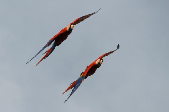 B and J Cabins: Scarlet Macaws near Sierpe (close to Uvita)