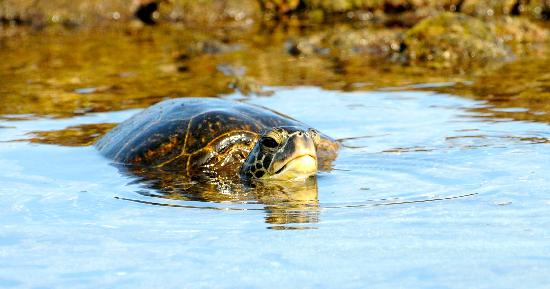 Four Seasons Resort Hualalai: Turtles everywhere
