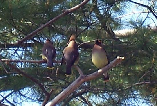 Coachlite Inn of Sister Bay: Cedar Waxwing