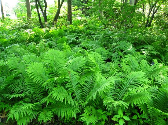 Toledo Botanical Garden: Fantastic Shade Garden   So Many Ferns!