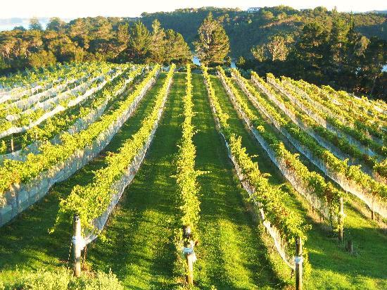 Omata Estate Vineyard: Vines