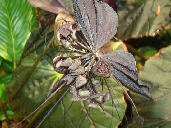 Impresora 3-D ayuda a explicar por qué las moscas enjambre de orquídeas Dracula   Alrededor del O