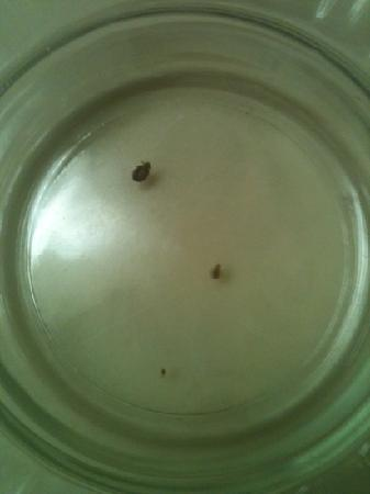 Sellersburg, IN: just a couple bed bugs that we found within min of turning down the blankets