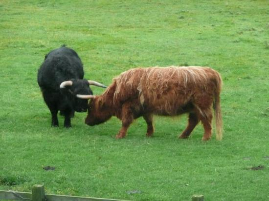 Ironsign Country House: Highland cattle