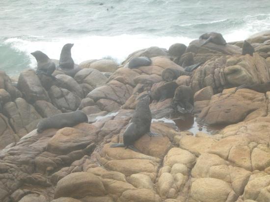 Cabo Polonio, Uruguay: los lobos