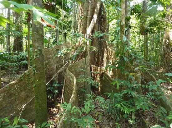 Heritage & Interpretive Tours: Mahogany Tree