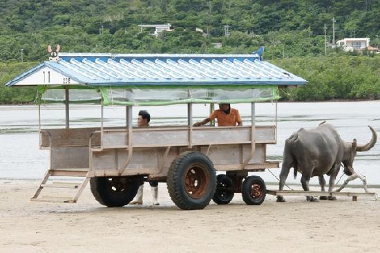 Subtropical Plant Paradise Yubujima Island: 大輝中の水牛車