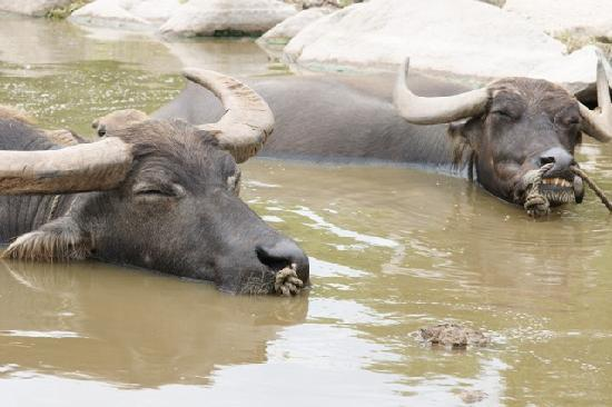 Subtropical Plant Paradise Yubujima Island: くつろいでいる水牛たち