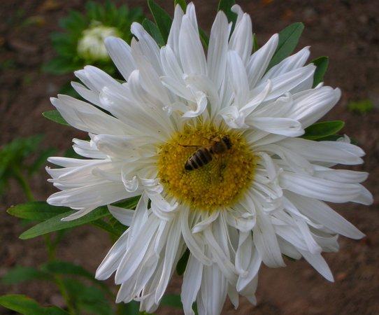 Serbia: Bees on flowers, Tecic, Sumadija