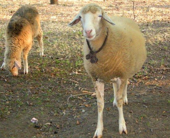 Serbia: Sheep, Tecic, Sumadija