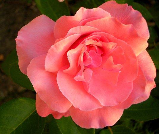 Serbia: Very beautiful roses, Tecic, Sumadija