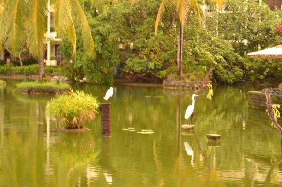 Ayodya Resort Bali: Herrings and Various Birds