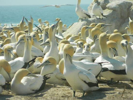 Lamberts Bay Hotel: The nesting colony of Cape Gannets at Lamberts Bay is one of only six such colonies in the world