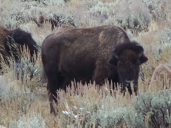 Grizzly Country Wildlife Adventures : Bison