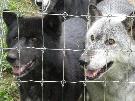‪‪Wolf Sanctuary of PA‬: Black and White Wolf‬
