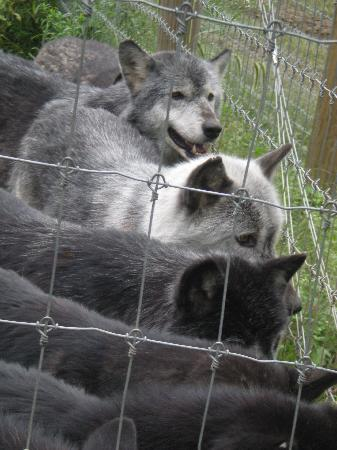 Wolf Sanctuary of PA: Feeding Time