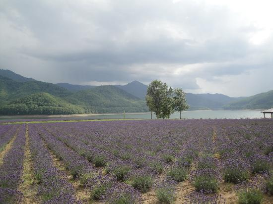 Lake Kanayama Forest Park : かなやま湖畔ラベンダー畑