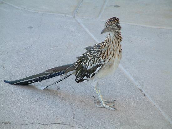 Cool Springs Station : Close-up Of Roadrunner